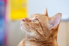 Cute male cat looking up, background colorful and blurry. royalty free stock photos
