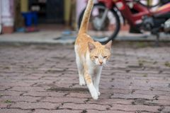 A cute male cat sitting, lay down and walking Royalty Free Stock Photos