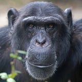 Male Chimpanzee. A cute Male Chimpanzee Portrait stock image