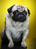 Cute Male Pug Royalty Free Stock Images