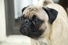Cute Male Pug Royalty Free Stock Image