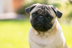 Cute Male Pug on green background in the summer park Royalty Free Stock Photography