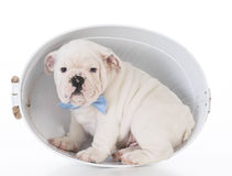 cute male puppy Stock Image