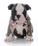 Cute male puppy Royalty Free Stock Photo