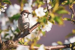Cute male sparrow bird perched among many cherry blooms_. Horizontal photo of single male sparrow. Bird is perched on the twig of cherry tree. Other branches are Royalty Free Stock Image