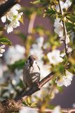 Cute male sparrow bird sits among many cherry blooms and looks directly to camera. Vertical photo of single male sparrow who looks into camera. Bird is perched Stock Photos