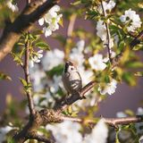 Cute male sparrow bird sits among many cherry blooms_. Square photo of single male sparrow. Bird is perched on the twig of cherry tree. Other branches are full Stock Photography