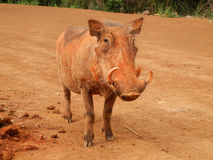 Cute male warthog. Tanzania, Africa Stock Images