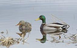 Cute mallard couple in pond. Royalty Free Stock Photo