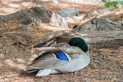 Cute mallard duck sitting. Around at Los Angeles, California Stock Images