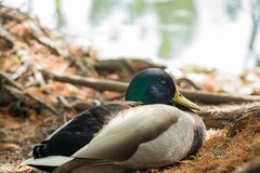 Cute mallard duck sitting. Around at Los Angeles, California Royalty Free Stock Photography