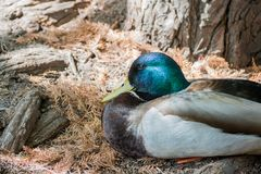 Cute mallard duck sitting. Around at Los Angeles, California Royalty Free Stock Photo