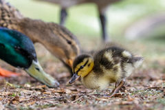 Cute Mallard duckling Anas platyrhynchos feeding with parent. Birds Stock Photos