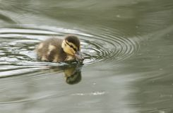 A cute Mallard duckling Anas platyrhynchos hunting for food in a river. A sweet Mallard duckling Anas platyrhynchos hunting for food in a river Stock Image