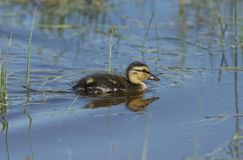 A cute Mallard duckling, Anas platyrhynchos, searching for food in a river. A sweet Mallard duckling, Anas platyrhynchos, searching for food in a river royalty free stock images