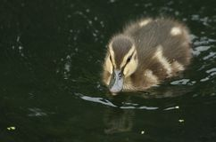A cute Mallard Duckling Anas platyrhynchos swimming in a river. A sweet Mallard Duckling Anas platyrhynchos swimming in a river Stock Photography