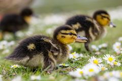 Cute Mallard ducklings Anas platyrhynchos feeding among daisie. S Royalty Free Stock Image