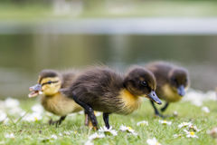 Cute Mallard ducklings Anas platyrhynchos feeding among daisie. S Stock Photography