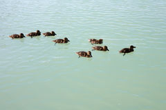 Cute Mallard ducklings on lake. The Cute Mallard ducklings on lake Royalty Free Stock Image