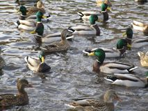 Cute mallard ducks on a swim in a pond, Queen Elizabeth Park royalty free stock photo