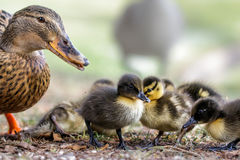 Cute Mallard variable coloured ducklings Anas platyrhynchos wi. Th adult female mum Stock Image