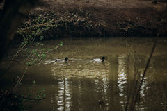 Cute mallards swimming in a lake in the forest, wild birds - duc Royalty Free Stock Photo