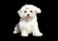 Cute Maltese Royalty Free Stock Images