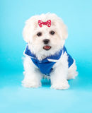Cute Maltese Stock Photos