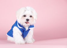 Cute Maltese Stock Photography