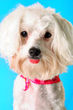 Cute maltese dog on blue. Shot of a cute maltese dog on blue Royalty Free Stock Images