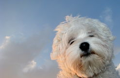 Cute maltese dog and blue sky. Maltese puppy with sky as background Stock Photography