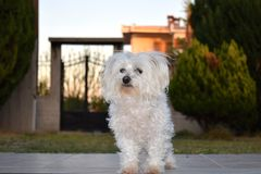 Cute maltese dog in the garden. Adorable white maltese puppy in the garden Royalty Free Stock Photography
