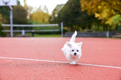 Cute maltese dog playing on the tennis court Stock Photo