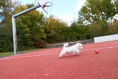 Cute maltese dog running on the red floor. Young small maltese running on tennis court Stock Photography