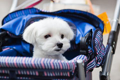Cute Maltese dog in a baby buggy Stock Photo