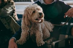 Cute maltese dog sitting on his owner`s lap. During the boat ride Royalty Free Stock Photos