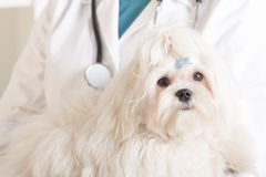 Cute maltese dog and vet. Cute maltese dog with veterinarian in the background Stock Photo