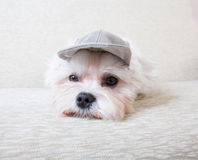Cute Maltese. Cute and fluffy young Maltese, wearing cap, resting on sofa Stock Photo