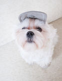 Cute Maltese Royalty Free Stock Photos