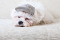 Cute Maltese Stock Photo