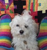 Cute Maltese Maltipoo Dog. Adorable Maltipoo puppy dog is lying between rainbow knitted slippers, looking expectantly. Behind him is a hamdmade patchwork quilt Royalty Free Stock Photo