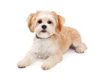 Cute Maltese Mix Breed Dog Laying. While looking forward Stock Photos