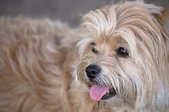 Cute maltese mix. A Maltese mix taking a breaking from running at a dog park Royalty Free Stock Images