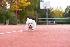 Cute maltese playing on the tennis court. Young maltese playing with a red ball on tennis court Royalty Free Stock Photos