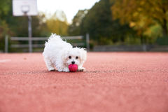 Cute maltese playing on the tennis court. Young maltese playing with a red ball on tennis court Stock Image