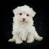 Cute Maltese Puppy Royalty Free Stock Images