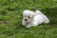 Cute Maltese puppy. Cute White Maltese puppy on green grass stock photography