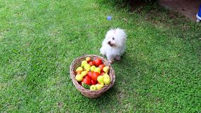 CUTE MALTESE PUPPY SITTING NEXT TO A BASKET FULL OF FRESH FRUITS AND VEGETABLES. Maltese dog sitting next to a basket full of fruits and vegetables stock video footage