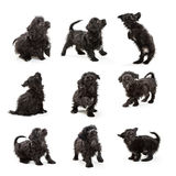 Cute Maltese Puppy Various Positions. Black color Maltese crossbreed puppy in different positions Stock Photography