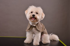 Cute Maltese puppy Stock Image